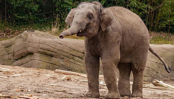 Elefantenbulle - Foto: Lutz Schnier.